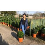 Buxus Sempervirens Ball 12 Litre Pot 40cm +