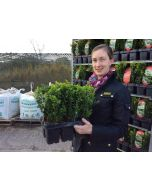 Box Hedging Jumbo 6 Plants in a Tray 20cm