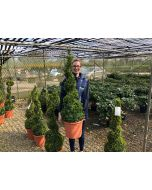 Buxus Or Box Spiral 12 Litre Pot 100cm