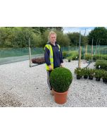 Buxus Sempervirens Ball 20 Litre Pot 50cm+ wide