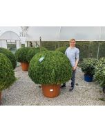Buxus Or Box Ball 100 - 110 cm Diameter