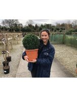 Buxus Sempervirens Ball 7.5 Litre Pot 30/32cm