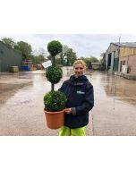 Buxus Sempervirens Trio-Ball Stack 10 Litre Pot