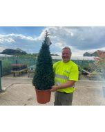 Yew Cone 15 Litre Pot 90/100cm