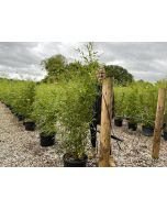 Green Bamboo Bissettii 20 Litre Pot 140-150cm
