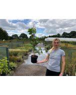 Parthenocissus Quinquefolia 3 Litre Pot