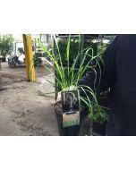 Calamagrostis Karl Foerster 2 Litre Pot
