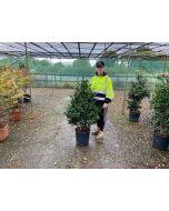 Camellia Sasanqua Yule Tide 20 Litre Pot