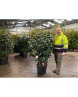 Camellia Jap. Mrs Charles Cobb 30 Litre Pot