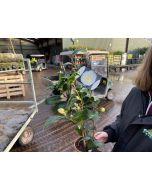 Camellia Japonica Brushfield 1.5 Litre Pot