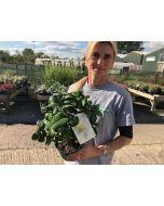 Camellia Japonica Jury's Yellow 1.5 Litre Pot