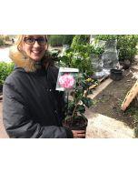 Camellia Japonica Triumphant 3 Litre Pot