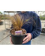 Carex Corman's Bronze 3 Litre Pot