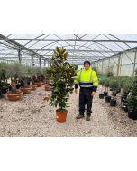 Magnolia Grandiflora 18 Litre Pot 125/150cm