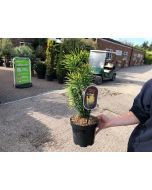 Cephalotaxus Harringtonia Korean Gold 2.5 Litre Pot