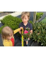 Rhododendron Shamrock 2 Litre Pot