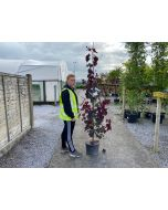 Cercis canadensis Red Force 15 Litre Pot