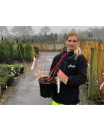 Cornus Magic Flame 4.5 Litre Pot winter