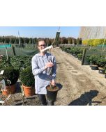 Corylus Contorta 4.5 Litre Pot