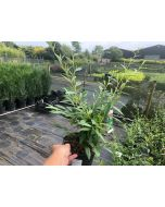 Cotoneaster Rothschildianus 3 Litre Pot