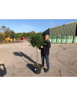 Viburnum it is mini standard