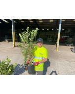 Hydrangea Paniculata Fraise Melba 9 Litre Pot