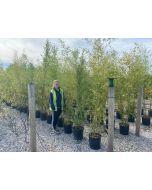 Bamboo Phyllostachys Aurea 40 Litre Pot 220cm