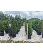 Yew Hedging Root Ball 160-180cm Extra Wide