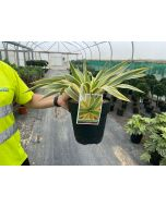Yucca Gloriosa Citrus Twist 6.5 Litre Pot
