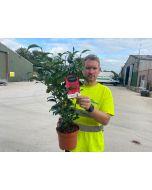 Camellia Japonica Brushfield 3 Litre Pot