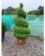Buxus Sempervirens Spiral 100 Litre 180cm Huge Specimen