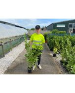 Griselinia Littoralis Hedging 3 Litre