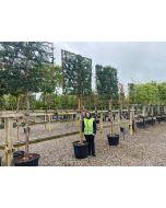 Green Leylandii Standard Pleached Hedging 16/18G 150x150 Frame