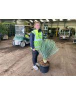 Yucca Rostrata Blue Swan 25 Litre Pot