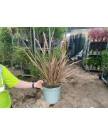 Phormium Tenax Rainbow Queen 5 Litre Pot