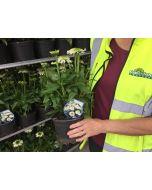 Echinacea Julia 2 Litre Pot