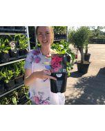 Echinacea Sensation Pink 2 Litre Pot
