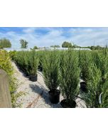 Juniperus Blue Arrow 30 Litre Pot 140cm