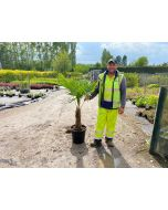Trachycarpus Fortunei 25 Litre Pot 30/40cm Trunk
