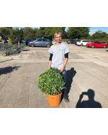 Euonymus Japonicus Kathy Ball Shaped 30 Litre Pot