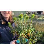Euphorbia Black Pearl 2 Litre Pot