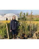 Exochorda serratifolia Snow Mountain 10 Litre Pot