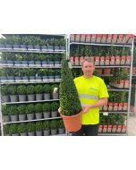 Buxus Cone 10 Litre Pot 70-80cm