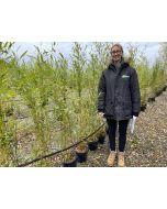 Bamboo Phyllostachys Aureosulcata Spectabilis 5 Litre Pot 120/150cm