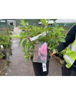 Hydrangea Paniculata Vanille Fraise 4.5 Litre Pot