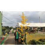 Ginkgo Autumn colours