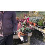 Helleborus annas red 1.5 Litre Pot