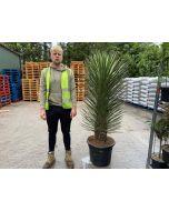 Yucca Filifera Australis 45 Litre Pot Specimen