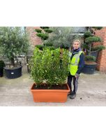 Griselinia Green Horizon Planted Screen 1 metre long x 1.4 Metre Tall