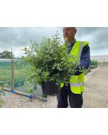 Pittosporum Ten. Golf Ball 5 Litre Pot